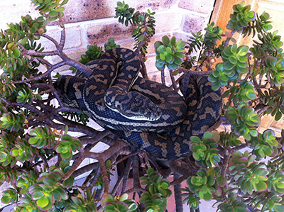 Carpet Python on plant