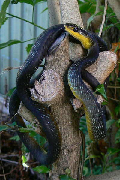Common tree snake (Black Morph)