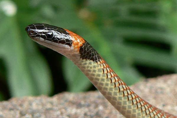 Red-naped Snake