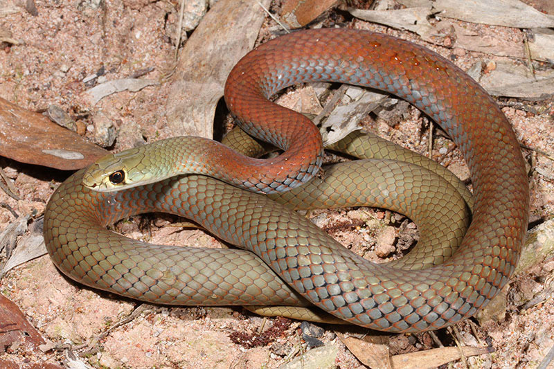 Yellow-faced Whip Snake