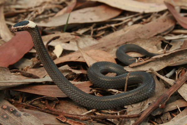 White Crowned Snake in defensive posture