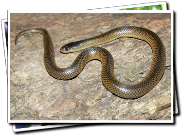 Carpentaria Whip Snake
